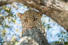 Leopard starring in a tree in the Kruger National Park, South Africa. Wildlife Photography, Animal Photography, Work In Africa, Panthera Pardus, Spotted Cat, Kruger National Park, Photo Tree, African Animals, Leopards
