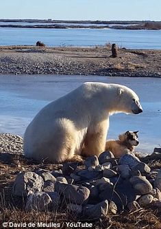 Unlikely pals: This polar bear was seen petting a sledding dog at a northern Canadian dog-breeding center