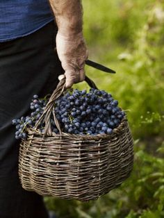 Louve this photo because....1. who doesn't louve grapes 2.And also who doesn't louve a man who gardens? lol