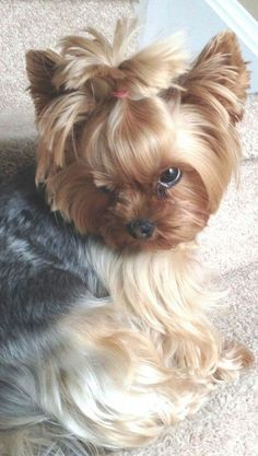 Yorkshire Terrier is one of the most popular dog breeds in the world, and despite their small size, Yorkies have Cute Puppies, Cute Dogs, Dogs And Puppies, Poodle Puppies, Pyrenees Puppies, Dogs 101, Yorkie Puppy, Chihuahua, Biewer Yorkie