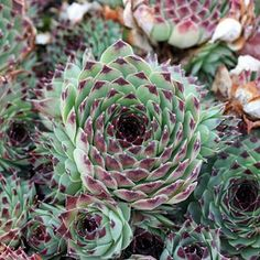 Sempervivum Calcareum Nigricians: Medium size grower for a Calcareum. Blue-green in color with almost black tips that make a nice contrast. Nice number of chicks per season on short stolons. $4.50