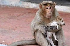 Puppy love: Indian ape adopts stray dog   The Times