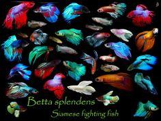 La lucha contra los peces, peces, chicle, peces piedra, pez Betta, splendens del betta, pescados que luchan siameses, pescados beta, betta, la lucha contra los peces