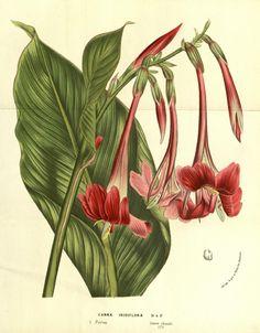 """Canna iridiflora, R. & P. -- """"Flore des serres et des jardins de l'Europe"""" v.13 (1858), ed. by Louis van Houtte"""