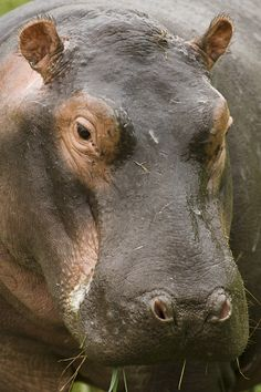 A hippo (Hippopotamus amphibius) portrait captured at Lake Panic in Kruger NP in South Africa.