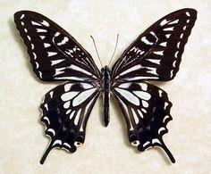 Hawaiian Butterfly Papilio Xuthus Male Real Framed Hawaii Butterfly 187 by REALBUTTERFLYGIFTS on Etsy https://www.etsy.com/listing/116689576/hawaiian-butterfly-papilio-xuthus-male
