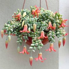 Cacti and succulents that hang or trail include Othonna capensis 'Ruby Necklace', Echinopsis Chamaecereus 'Peanut Cactus', Hildewintera Colademononis. Hanging Succulents, Hanging Flowers, Cacti And Succulents, Flowering Succulents, Succulent Gardening, Garden Plants, Cactus Y Suculentas, Hanging Baskets, Hanging Pots