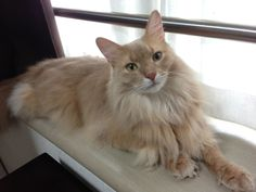 The somali cat by the window.