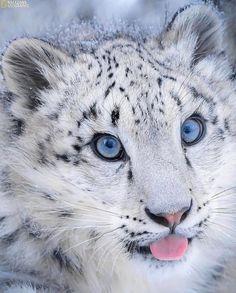 Leopard Cub, Snow Leopard, Wild Photography, Wildlife Photography, Leopards, Big Cats, Cubs, Cats Of Instagram, Cute Animals