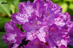 Purple Flowers at Dow Gardens by *billcoo*, via Flickr