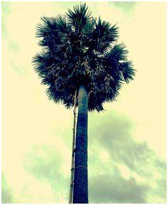 Palm Sugar Tree, Cambodia. www.onebymeforyou.com