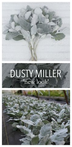 One of the most productive and unique foliage plants around, this special Dusty Miller features tall, thick stems with large, smooth-edged silver leaves. The more you pick it, the more stems it produces. Dusty Miller, Elegant Flowers, Cut Flowers, Horticulture, Cut Flower Garden, Cut Garden, Grandmas Garden, Flower Farmer, Mediterranean Garden