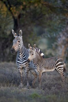 Cape mountain zebra, Mountain Zebra National Park, South... by robertharding