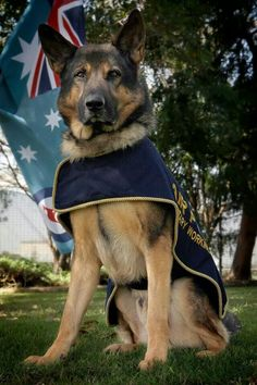 Australian M.W.D Turk Retired after 8 years of service in the Royal Australian Air Force. Handlers are still not able to adopt which is being considered to change the rule.
