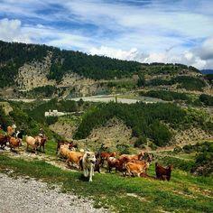 On the road series. Greece  #roadtrip #audia4 #audi #greece #ontheroad #freerange #goats #sheperddog #mountain #road #oldroad #thelonelytraveler #travelphotography #travel #vacation #epirus