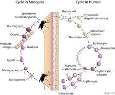 Asexual life cycle of plasmodium berghei