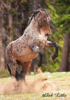 Wild Stallion, photo taken by Deb Little ( www.deblittle.com )