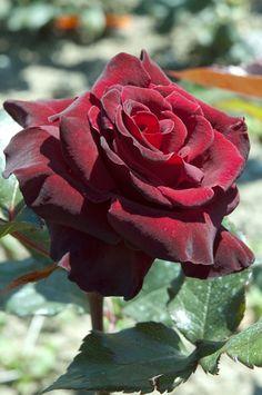 Rose Black Baccarat !!!   MEILLAND International | Rosiers de Jardin | Grandes fleurs