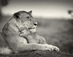 A mothers love #love #mother #nature #lion #photography #cub #lioness #affection #cuddle #motherhood #mothers #animals #zoo #africa