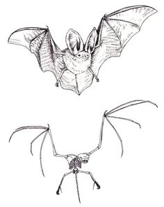 Dino-bat: a new flying dinosaur with membranous wings Bat Skeleton, Skeleton Tattoos, Murcielago Animal, Bat Anatomy, Tim Burton Personajes, Bat Sketch, Animal Skeletons, Vampire Bat, Illustration Art