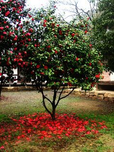 Royal Velvet Camellia bush - Google Search