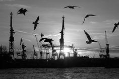 011_15374 die Silhouette von fliegenden Möwen im Gegenlicht der untergehenden Sonne über dem Hamburger Hafen. Im Hintergrund die Kräne der Werft von Blohm & Voss.   ©www.fotograf-hamburg.de