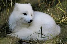 I have an Arctic Fox as a pet. His name is Zig