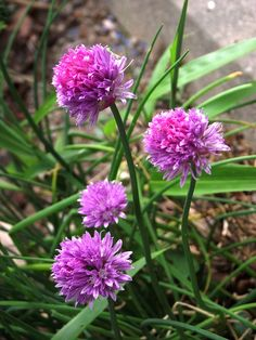 Supposed to take the flowers off the plant to get better chives for culinary use, but the flower colour is delightful.     Simple and Healthy Beauty