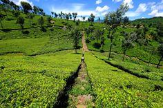 Tea fields in India