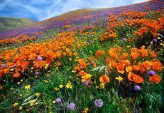 Antelope Valley Poppy Reserve, Lancaster CA.