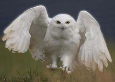 coruja branca - Pesquisa Google