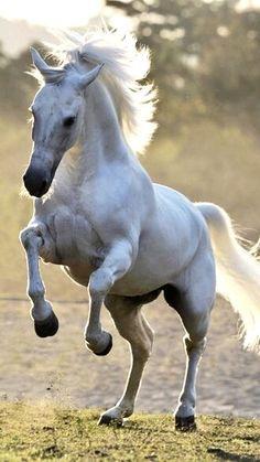 Mangalarga Marchador – Brazilian horse breed of Iberian and Lusitano stallions … Beautiful Arabian Horses, Most Beautiful Horses, Majestic Horse, Cute Horses, Pretty Horses, Horse Photos, Horse Pictures, Beautiful Creatures, Animals Beautiful
