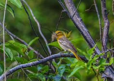 Bullock's Oriole in late May