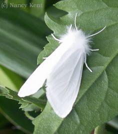Wooly Bear Caterpillar, Moth, Dandelion, Butterfly, Portobello, Flowers, Plants, Women's Accessories, Animals