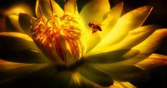 LILIES AND THE MAGIC OF LIGHT WITH A HONEY BEE, LILY POND, BOTANICAL GARDENS, NAPLES, FLORIDA