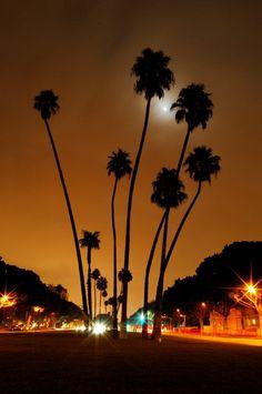 Palm Trees - Beverly Hills Night