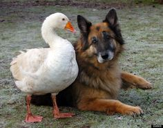 A German shepherd and a goose strike up a friendship at a rescue in Somerset, England.