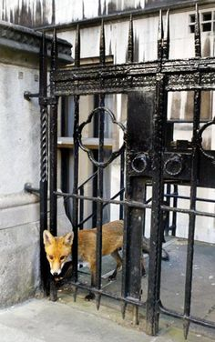 Fox - The Royal Courts of Justice,  London
