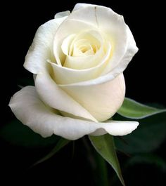 A beautified white rose of pureness . A rose of all faithfulness. A rose of truth. A rose of Innocence. A rose of purification. A rose is a rose.