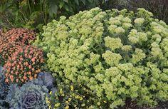 tree seeds. buxus sempervirens 100 x commune boîte de graines