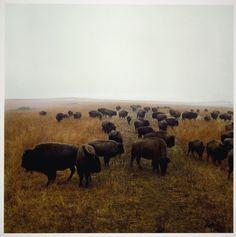 Bison at Maxwell Game Preserve, Roxbury, Kansas  1981