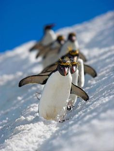 Penguins in Line