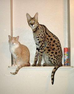 Rexano exotic big cat feline gallery pet African serval domestic cat