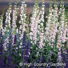 """4-5' x 24"""" wide, (seed propagated). This is a very heat tolerant beardtongue, native to NM and AZ. One of the few fragrant Penstemons, it blooms with gigantic spikes of large, light pink flowers in early summer. Distinctive gray foliage. Must be grown in sandy or gravelly soils, not in tight clay. Not suited to areas receiving more than 15-18"""" of rainfall annually! Zones 4-9. 5"""" deep Premium pot."""