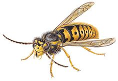 There are several methods exercised for wasp removal & control in Melbourne. Some preventive measures that help to keep them at bay or deter them from entering are as follows: Not keeping any food lying around Ensuring that garbage bins are always sealed tightly Keeping drinks covered whenever outdoors Picking up fallen fruits in the garden #waspremoval #melbourne