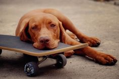 those eyes:) Vizsla puppy skateboarding I Love Dogs, Puppy Love, Cute Dogs, Beautiful Dog Breeds, Beautiful Dogs, Vizsla Puppies, Dogs And Puppies, Vizsla Dog, Redbone Coonhound