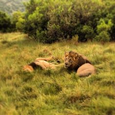 Gives a whole new outlook on male pride from this mane attraction of @MegKHo's.    #SouthAfrica #RoamancingSA