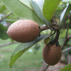 What Is Sapodilla Fruit: How To Grow A Sapodilla Tree - Like exotic fruits? Then why not consider growing a sapodilla tree. When you care for sapodilla trees as suggested in this article, you'll find yourself benefitting from the tasty fruits in no time. Weird Fruit, Strange Fruit, Exotic Fruit, Tropical Fruits, Rainforest Plants, Amazon Rainforest, Fruit List, Tree Care, Delicious Fruit