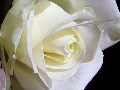 Просто Розы ))) / цветы, роза, розы, белая роза, королева цветов