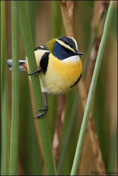 Many-colored Rush Tyrant (Tachuris rubrigastra) is a small passerine bird of South America.